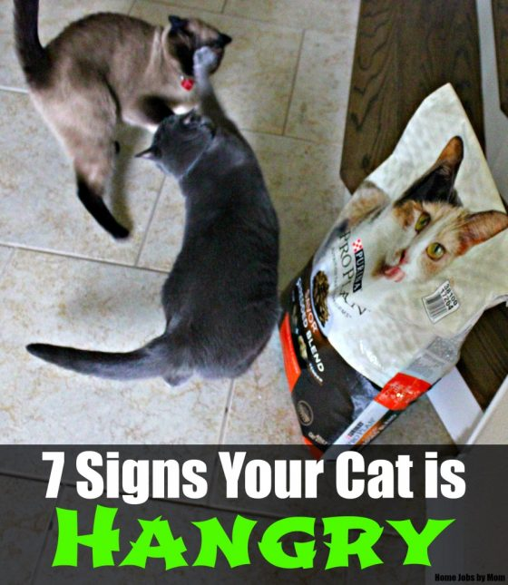 040e2b1cff7 7 Signs Your Cat is Hangry | Home Jobs by Mom