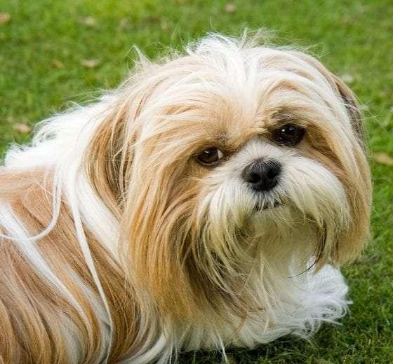 Shih Tzu Poodle