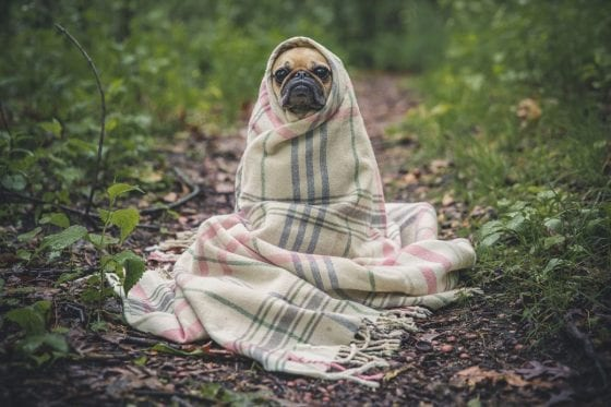 dog in blankets