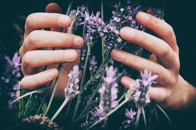 person holding lavender